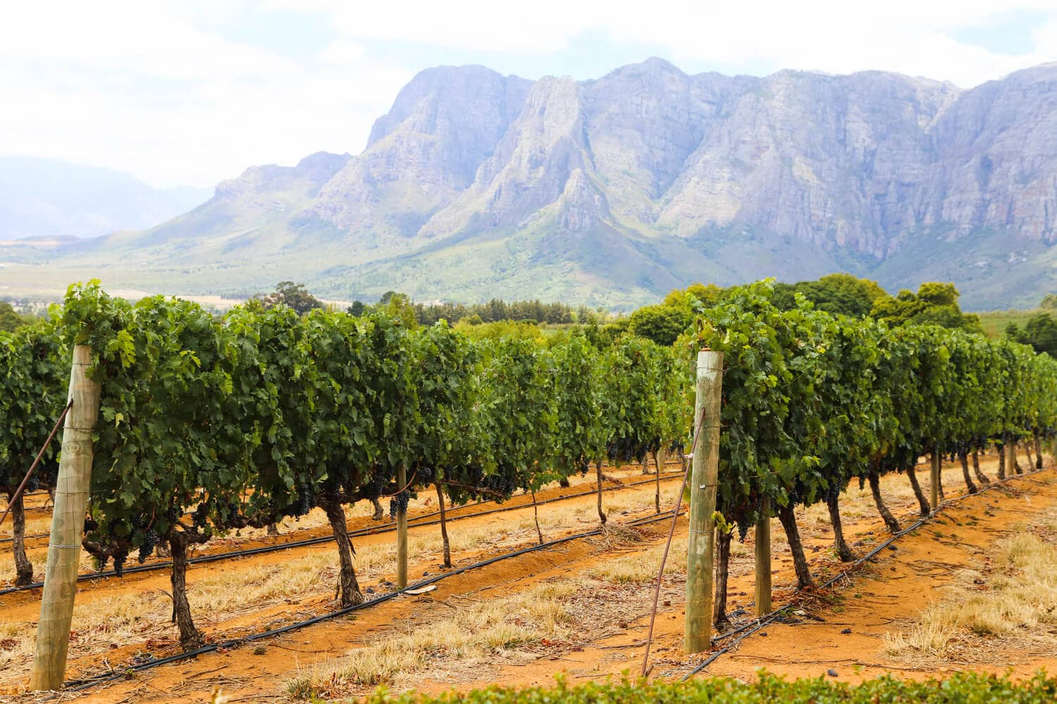 Lush green vines grow in rows by the mountains at a Stellenbosch vineyard