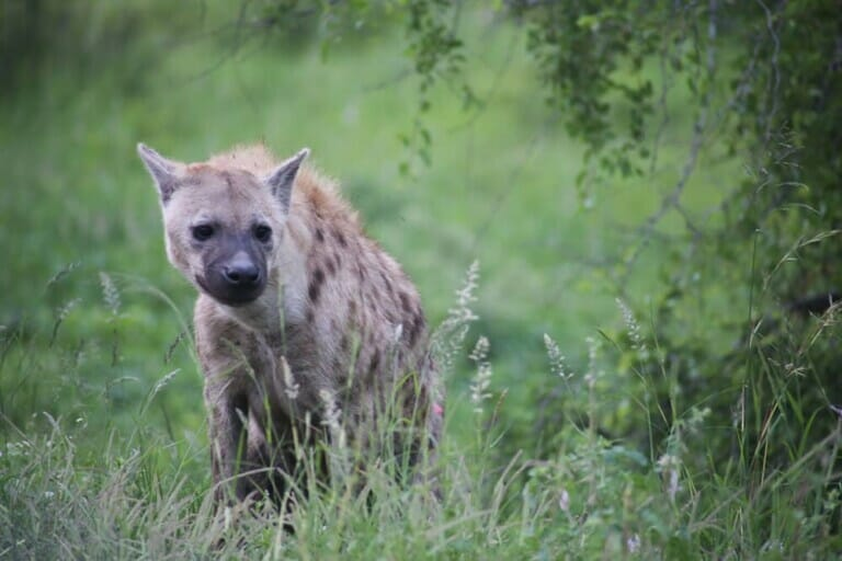 A lone hyena stands in the grass