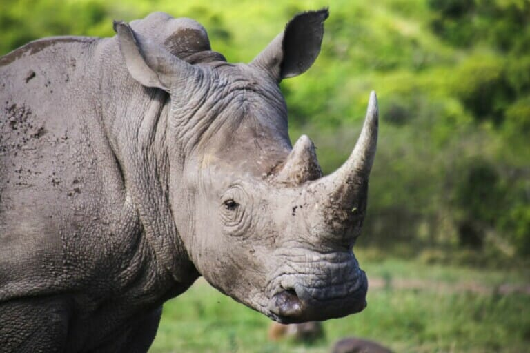 A rhino with two horns looks at the camera