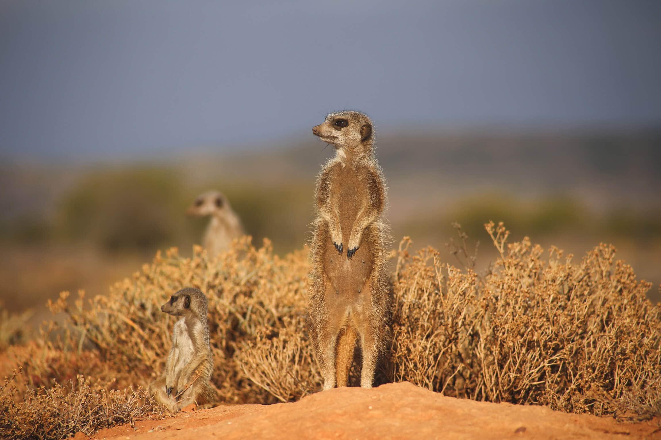 Three meerkats standing in the bush