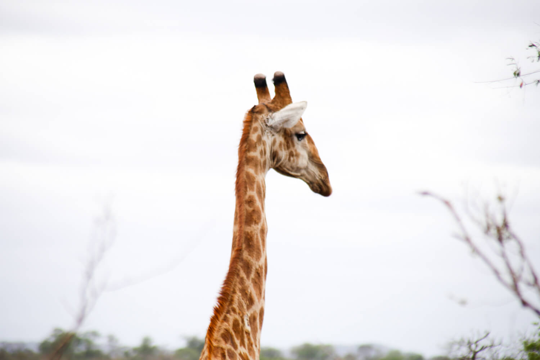 A giraffe stands against a grey sky