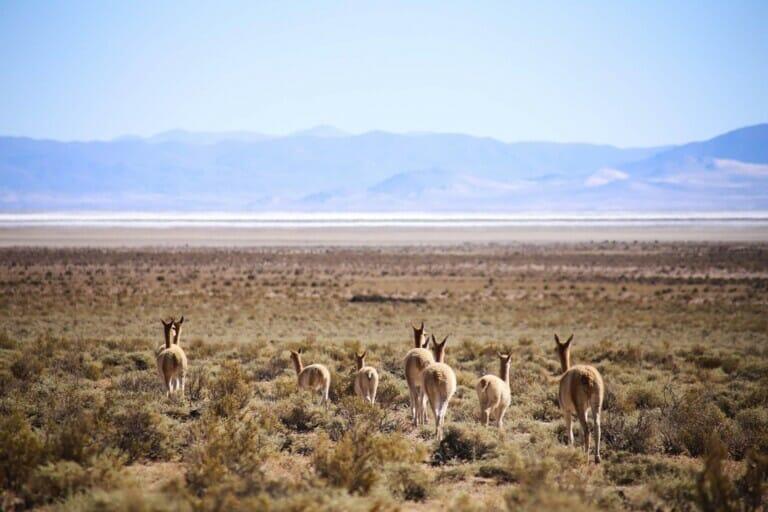 Vicunas walk through the plains
