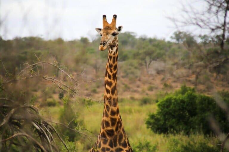 A giraffe standing the bush