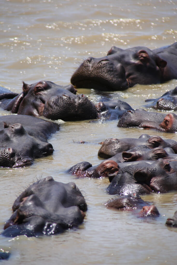 A pod of hippos rest their heads on each other in the water