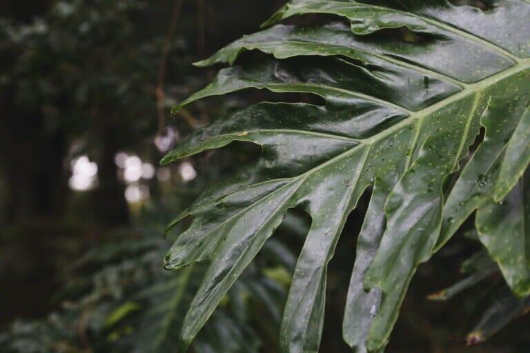 A deep green leaf in the jungle