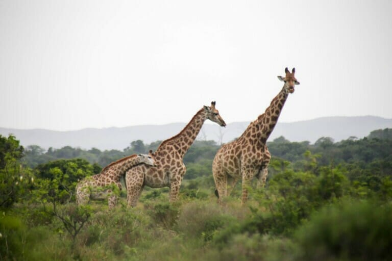 Three giraffes stand above the trees