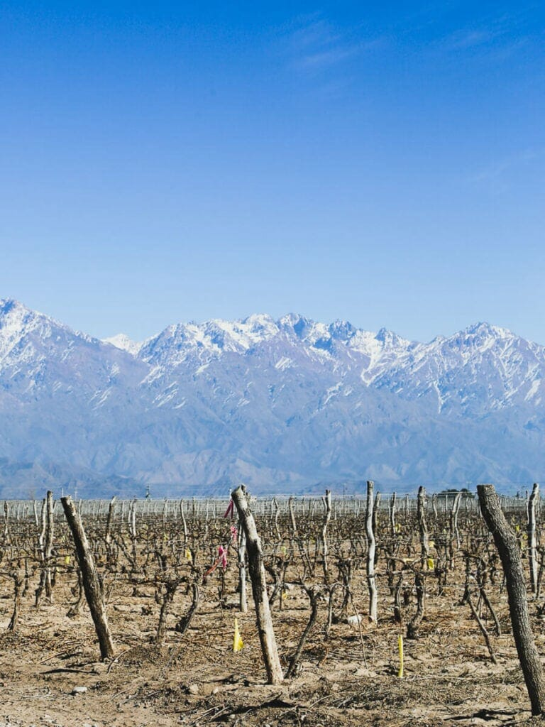 Dried vines in a vineyard in winter in front of a mountain range
