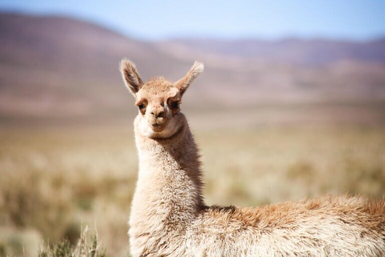 A beige llama looks directly at the camera