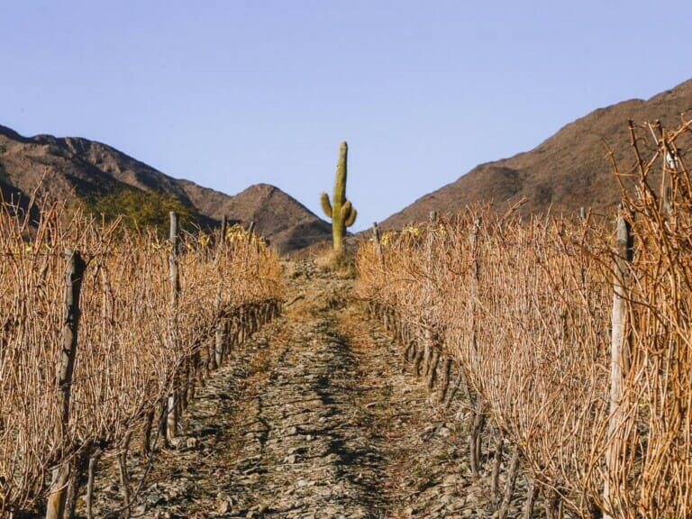 A cactus stands tall behind to rows of vines in a winery in Cachi